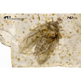 Hadroblattula drepanoides