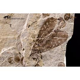 Lembochrysa polyneura