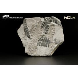 Alethopteris zeilleri - VGT A 27