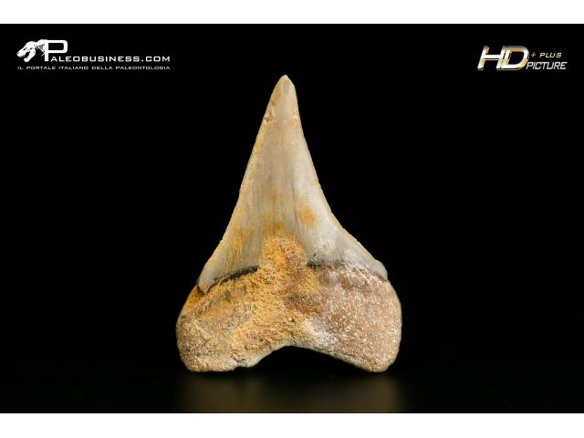 Isurus hastalis - SLC A 20
