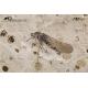 Orsobrachyceron chinensis