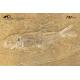 Leptolepis talbragarensi