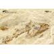 Hakeliosomus hakelensis + Coccodus insignis