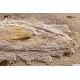 Rachiteuthis donovani
