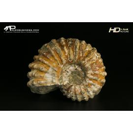 Douvilleiceras sp. - AMM A 19