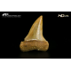 Isurus hastalis - SLC A 3