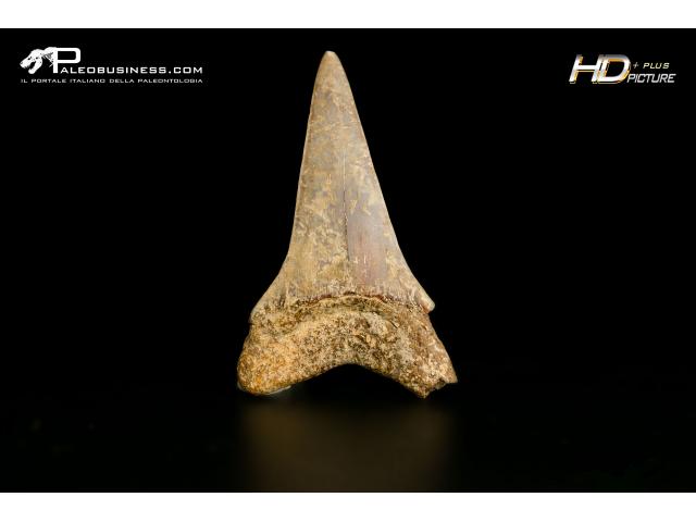 Isurus hastalis - SLC A 22