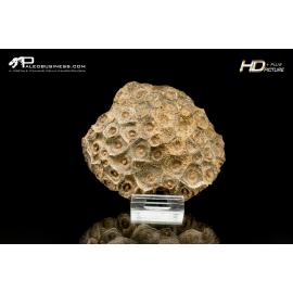 Corallo Hexagonaria