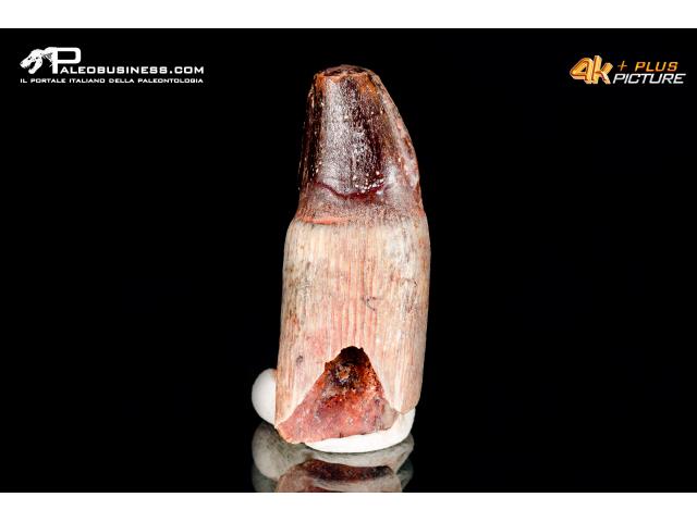 Hamadasuchus sp