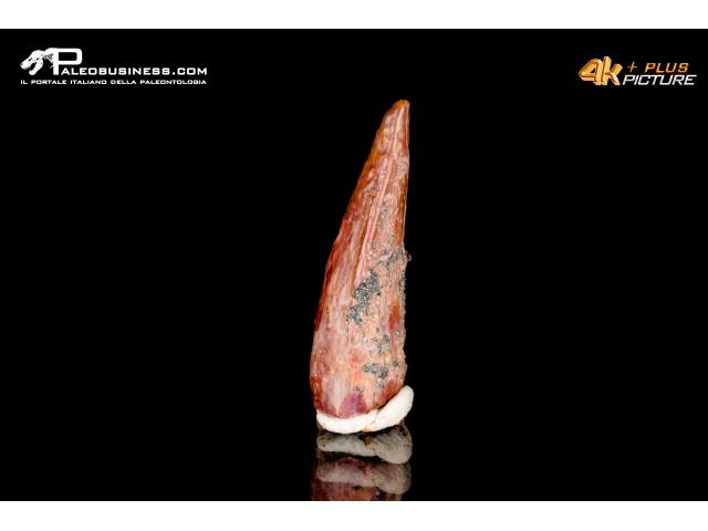 Dente di coccodrillo indet.