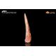 Dente di pterosauro Gnathosaurus subulatus