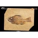 Pesce fossile Priscacara liops