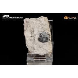 Impronte di rettile (icnofossili)
