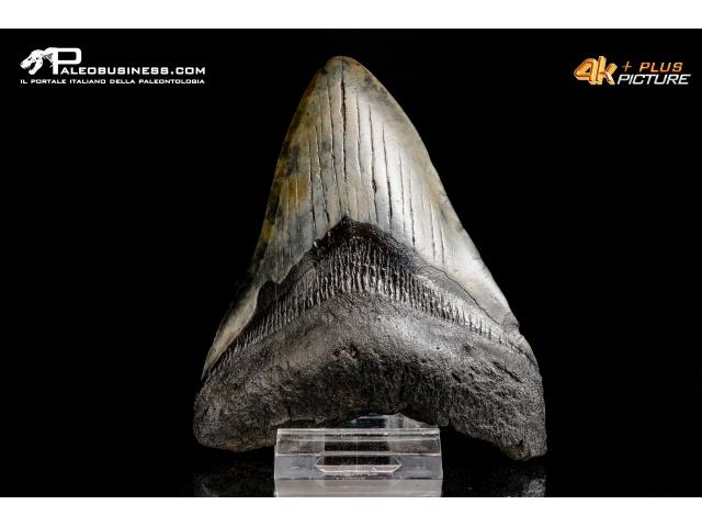 Dente di Carcharocles megalodon