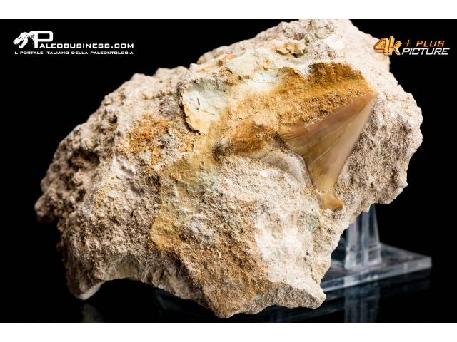 Dente di Otodus obliquus