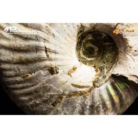 Dente di Prognathodon sp. ( mosasauro)