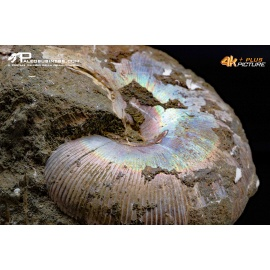 Ammoniti Cleoniceras besaiei e Cleonicers sp.