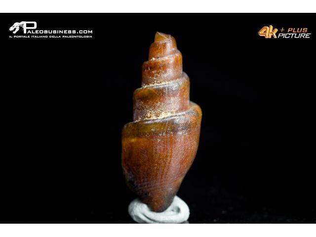 Gasteropode silicizzato