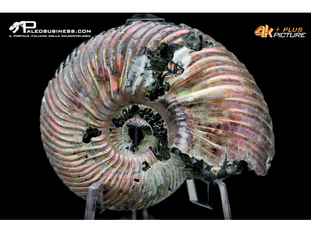Ammonite Cleoniceras sp.