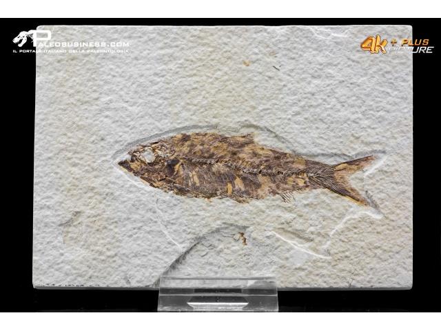 Knightia eocena