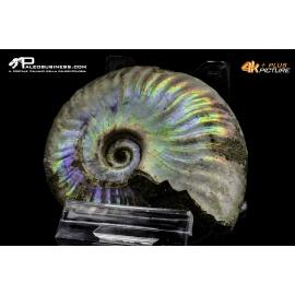 Ammonite Cleoniceras besaiei