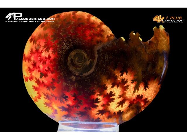 Ammonite Cleoniceras besaiei traslucida
