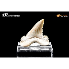 Dente di Palaeocarcharodon orientalis
