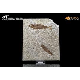 Knightia eocena - doppio esemplare