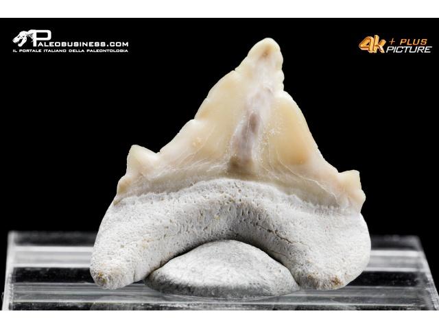 Dente di Otodus obliquus con deformazione patologica