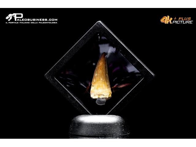 Dente di Prognathodon sp. (Mosasauro)
