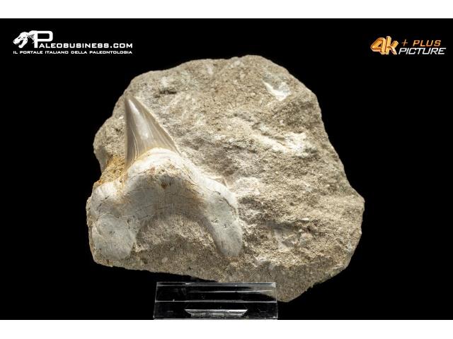 Dente di Otodus sp.