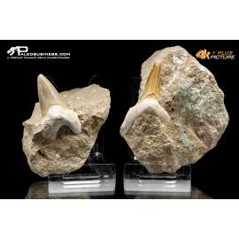 Coppia - Dente di Otodus sp.