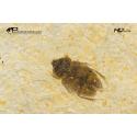 Cretoglaresis orthochillus